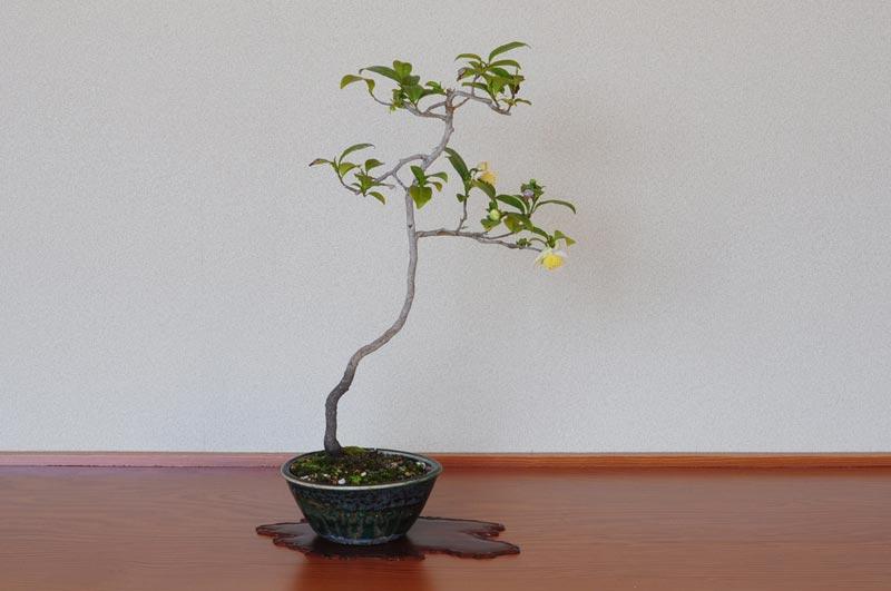チャノキA(ちゃのき・茶の木)花もの盆栽の販売と... チャノキA(茶の木盆栽)Camellia