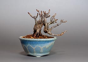 カマツカ-E2(鎌柄盆栽)Pourthiaea villosa bonsaiの販売・通販店|Bonsai trees Shop